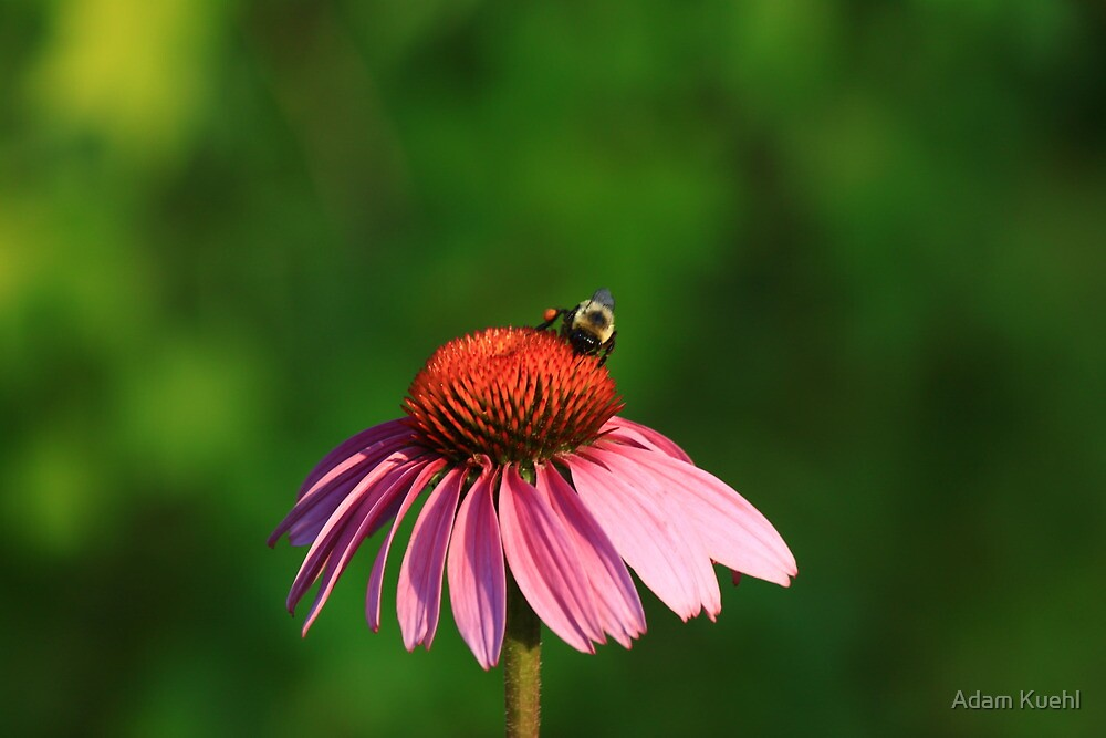 Bumble me Daisy2 by Adam Kuehl