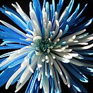 Blue and white chrysanthemum by hummingbirds