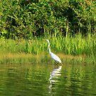 Egret lurking for dinner by Adam Kuehl