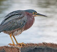 Green Heron  by Bonnie T.  Barry