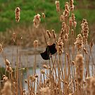 Hanging in the cat tails by Adam Kuehl