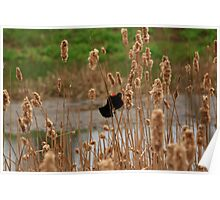 Hanging in the cat tails Poster