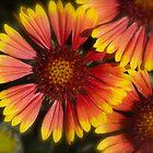 Beautiful Garden flower by Heather Eeles