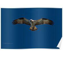 Osprey in Flight. Poster