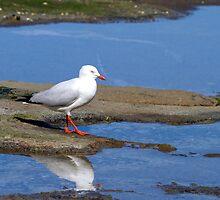 Silver Gulls by Nikki25