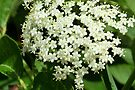 Elderberry Blossoms by Kathleen Daley