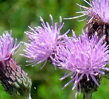 Canada Thistle by Kathleen Daley