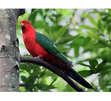 King Parrot 2 Photographic Print