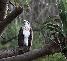 Osprey in Pandanas Tree by Nikki25
