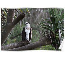 Osprey in Pandanas Tree Poster