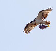 Osprey with Fish 2 by Nikki25