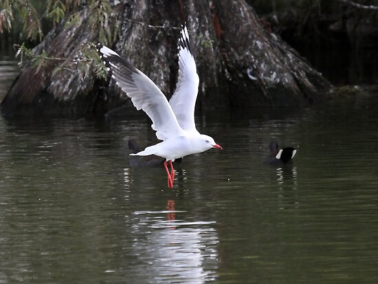 Silver Gull landing on the water. by Nikki25