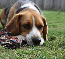Beagle boy by bindabee