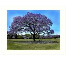 100 Year Old Jacaranda Tree Art Print