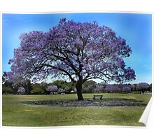 100 Year Old Jacaranda Tree Poster