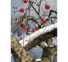 Bird Beaten Leftovers Hang on the Old Apple Tree Photographic Print