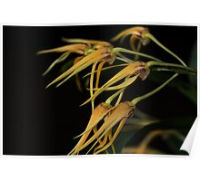 Dendrobium Star of Gold Poster