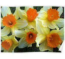 Daffodils heralding Spring Poster