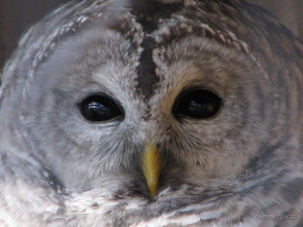 Barred owl by hummingbirds