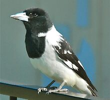 Butcher Bird by peasticks