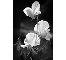 Sweet Pea Flowers in Monochrome Photographic Print