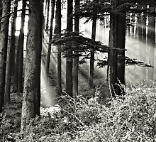 Light Through the Trees by Don Schwartz