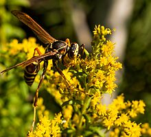 Yellow Wasp On Yellow Flower 2 by Thomas Young