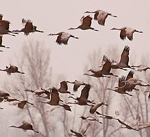 Cranes Across the Trees by Don Schwartz