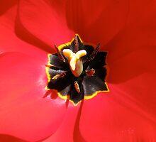 Tulip Center by KimSha