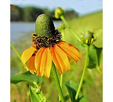 Clasping-Leaf Coneflower  Photographic Print