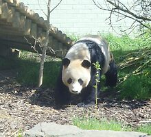 Yang Guang the panda by Caroline Clarkson