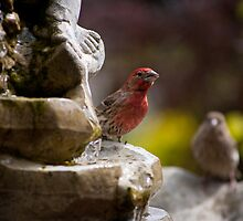 House Finch & Mate by Don Guindon