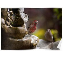 House Finch & Mate Poster