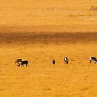 Porcupine Caribou Herd above the Arctic Circle by Yukondick