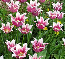 Tulip Family by Ariel Faraci
