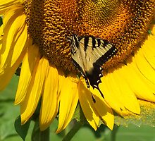 Eastern Tiger Swallowtail on  a Sunflower by Hope Ledebur