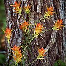 Paintbrushes on the Flume Trail by Kim Barton
