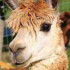 Alpaca #3 by Paula Tohline  Calhoun