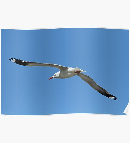 Silver Gull Flying Poster