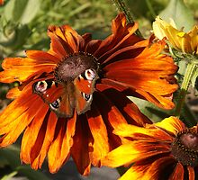 Colourful autumn - flowers and a butterfly by Susanna Hietanen