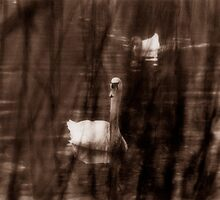 Sepia Swans by Jay Gross