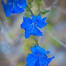 Blue Leschenaultia by Jill Fisher