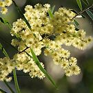 Wattle by aussiebushstick