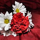 red and white roses by Laurast