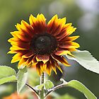 The Sun Flower by Photokes