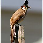 Red Whiskered Bulbul by PaulPeterson