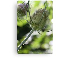 Thistle? Canvas Print