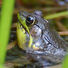 Croaking Bull Frog by Kathy Baccari