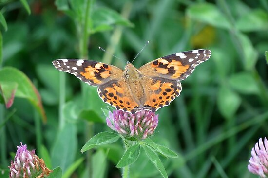 Painted Lady by Ron Russell