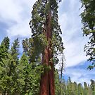 Sequoia National Park, California by GreyFeather